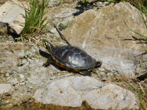 2016-07-24 tortue